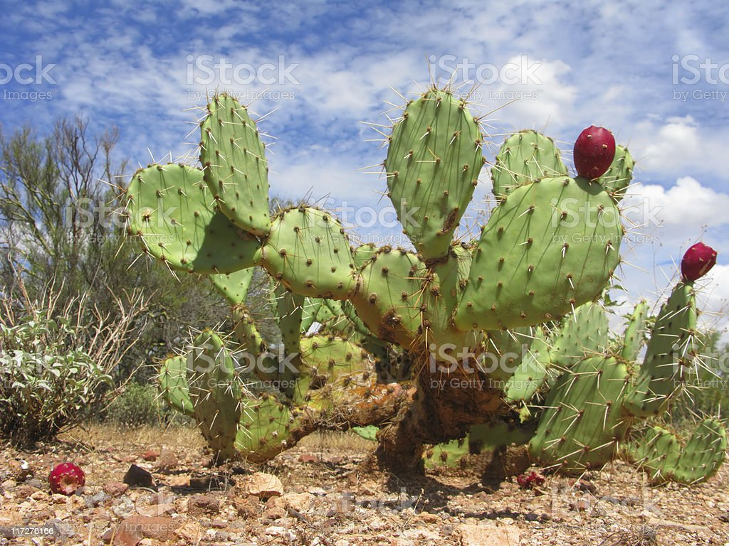 Arizonian Prickly Pear Cactus stock photo