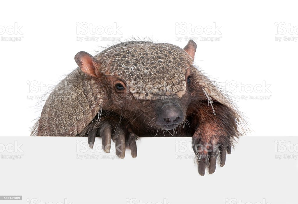 Armadillo behind a blank panel stock photo
