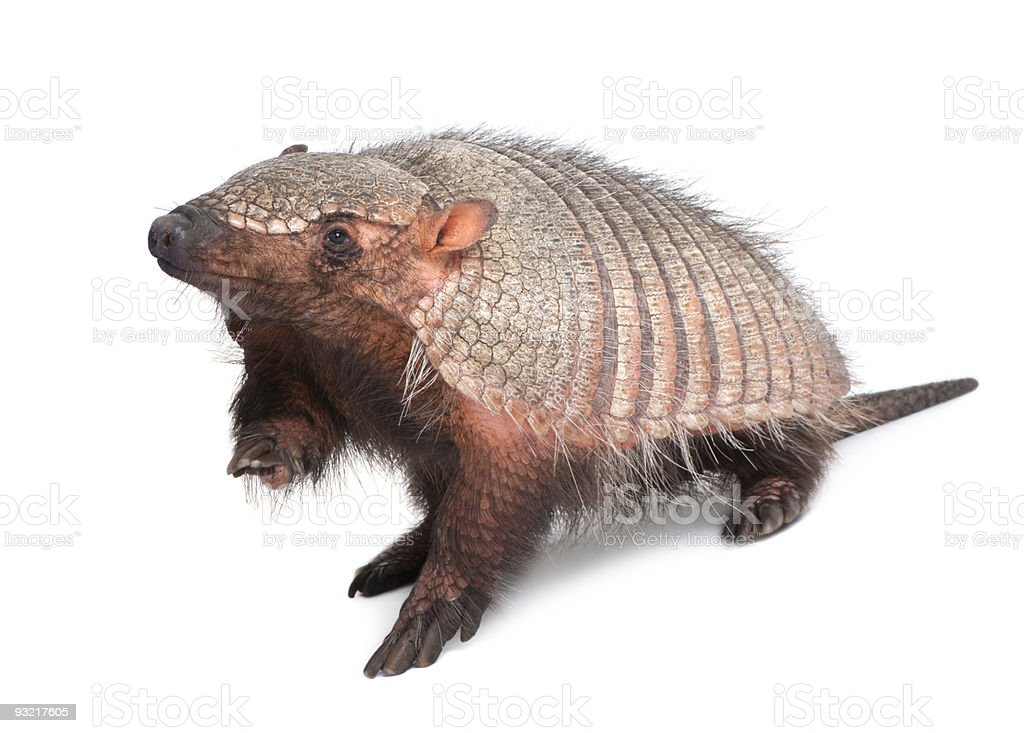 Armadillo - Dasypodidae Cingulata - isolated on white stock photo