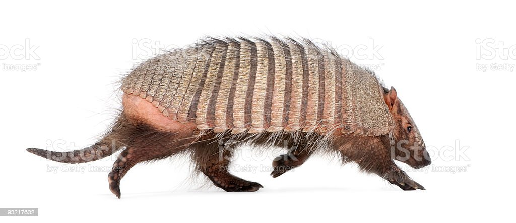 Armadillo - Dasypodidae Cingulata stock photo
