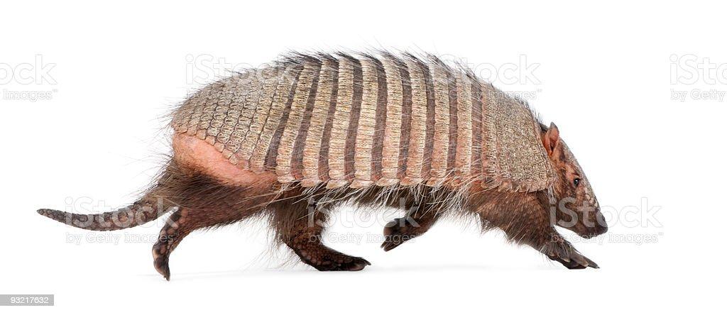 Armadillo-Dasypodidae Cingulata - foto de stock