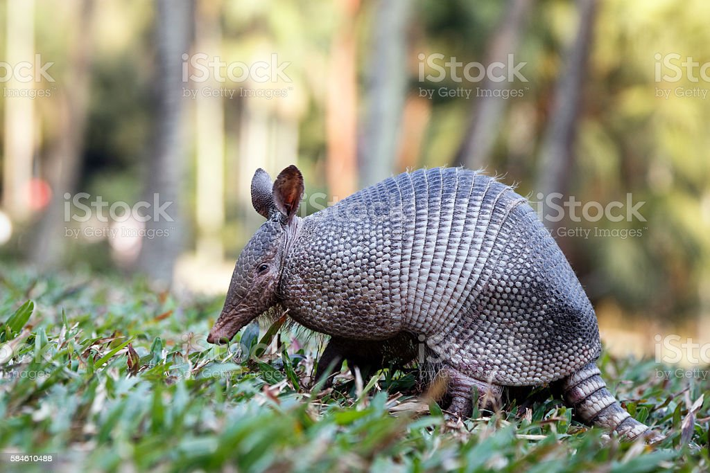 Armadillo from Brazil stock photo