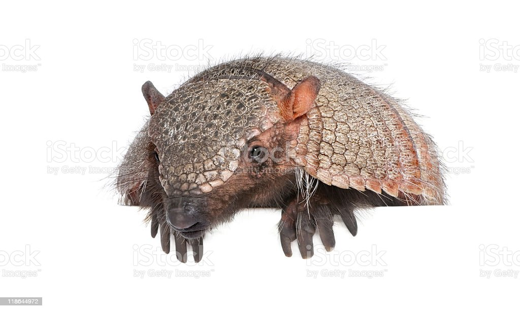 Armadillo in front of a white background stock photo