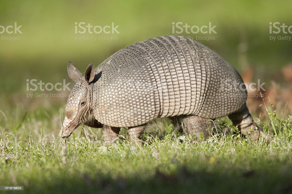 Armadillo in grass field stock photo