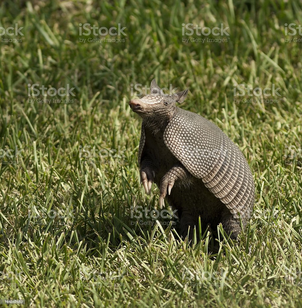 Armadillo in the air stock photo