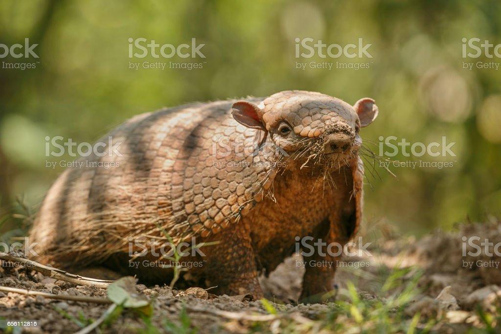 Armadillo in the nature habitat of brazilian forest stock photo