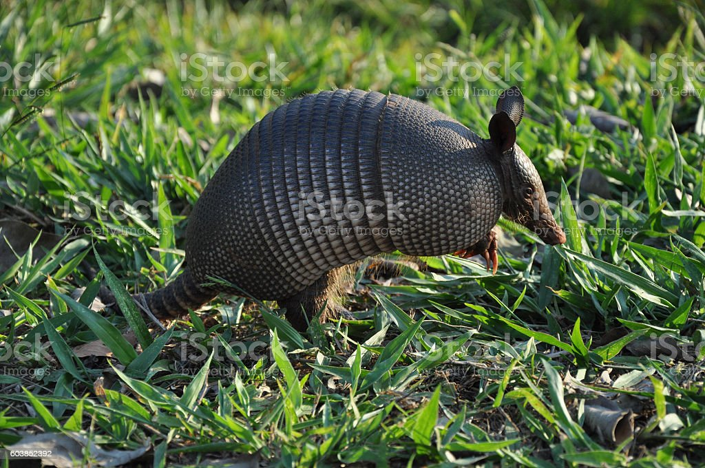 Armadillo jumping on grass stock photo