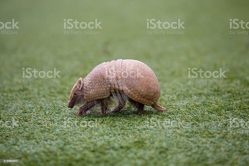 Armadillo on Turf Grass stock photo