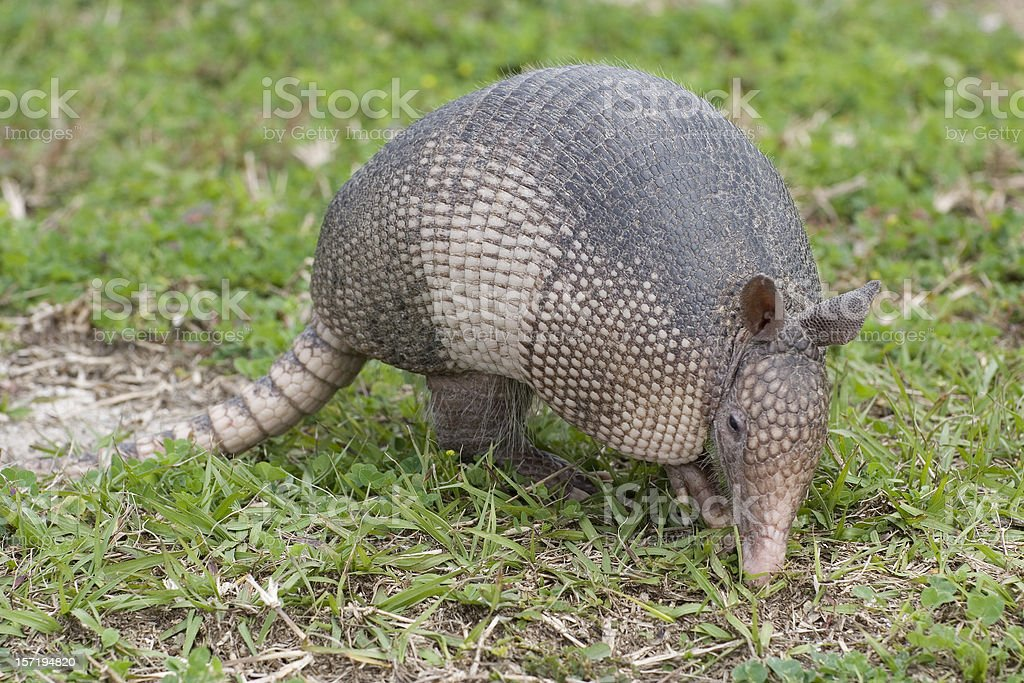 Armadillo stock photo