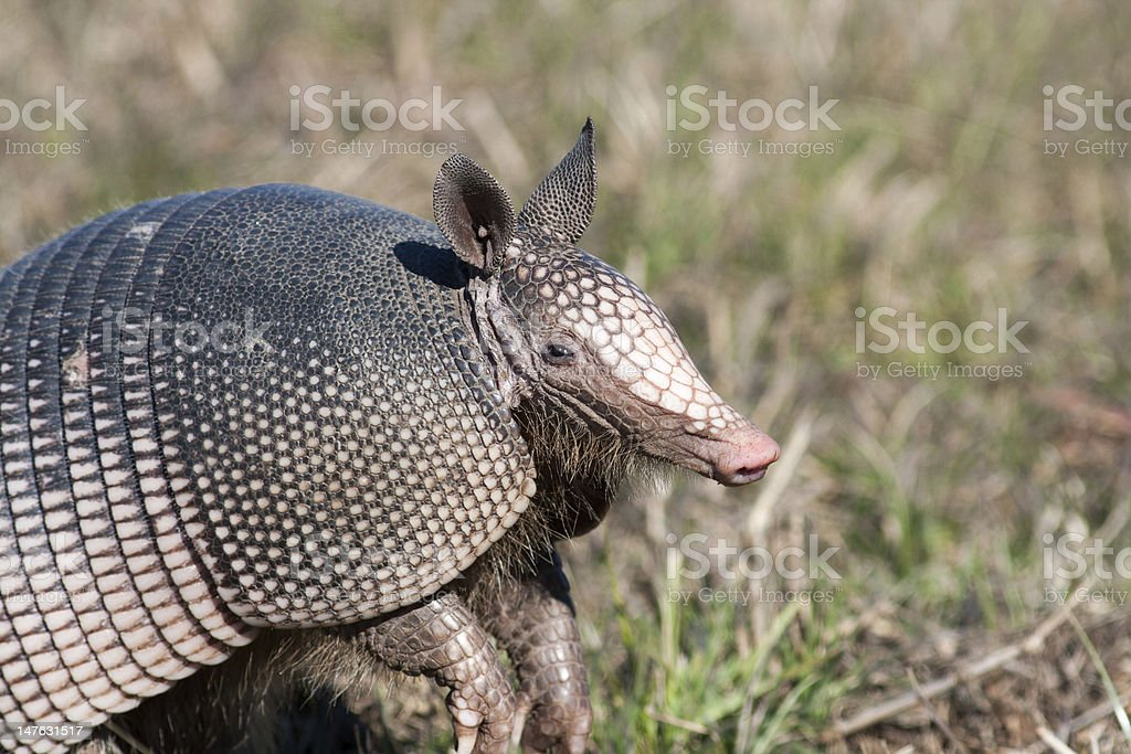 Armadillo standing in grass field stock photo