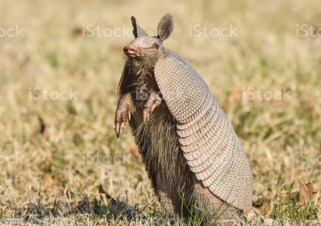 Armadillo standing up stock photo