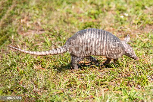 a picture of an Armadillo walking through a grassy field
