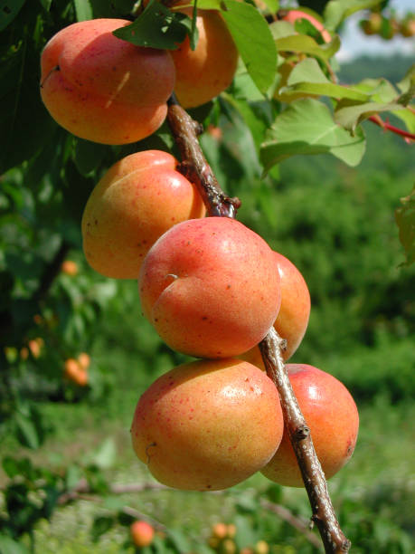 Prunus armeniaca - Photo