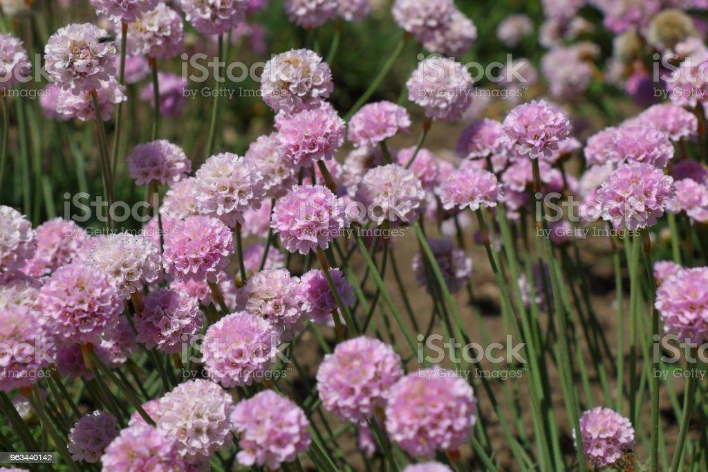 Armeria maritima Rosea kwiaty w ogrodzie - Zbiór zdjęć royalty-free (Bez ludzi)