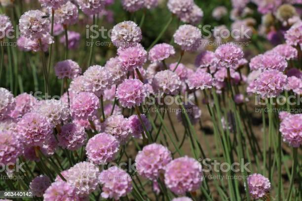 Armeria Maritima Rosea Kwiaty W Ogrodzie - zdjęcia stockowe i więcej obrazów Bez ludzi