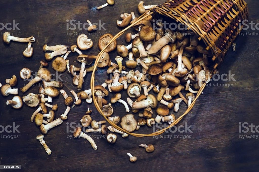 Armillaria mellea commonly known as honey fungus in the heaped wicker basket. stock photo