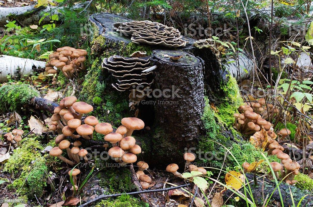 armillaria mellea in forest, stock photo