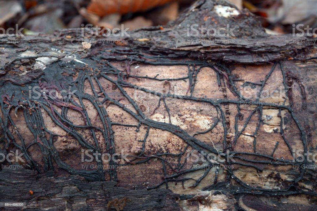 armillaria mushroom root rot stock photo