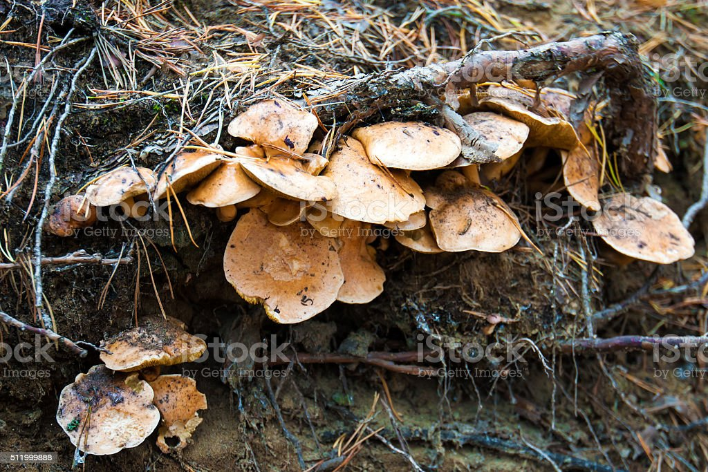Armillaria mushrooms stock photo