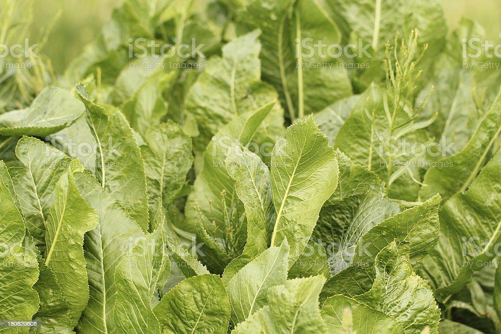 Armoracia rusticana -  horseradish royalty-free stock photo