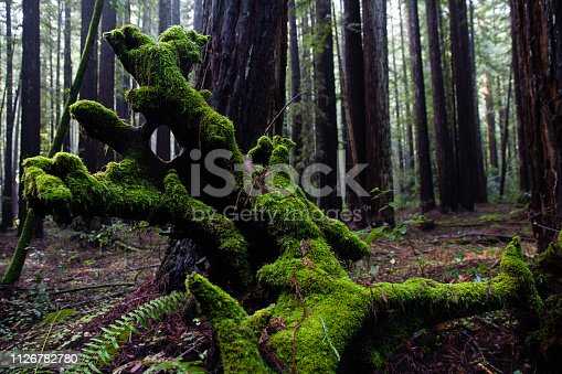 Coast Redwoods in Armstrong Redwoods, State Natural Reserve in Northern California, USA.