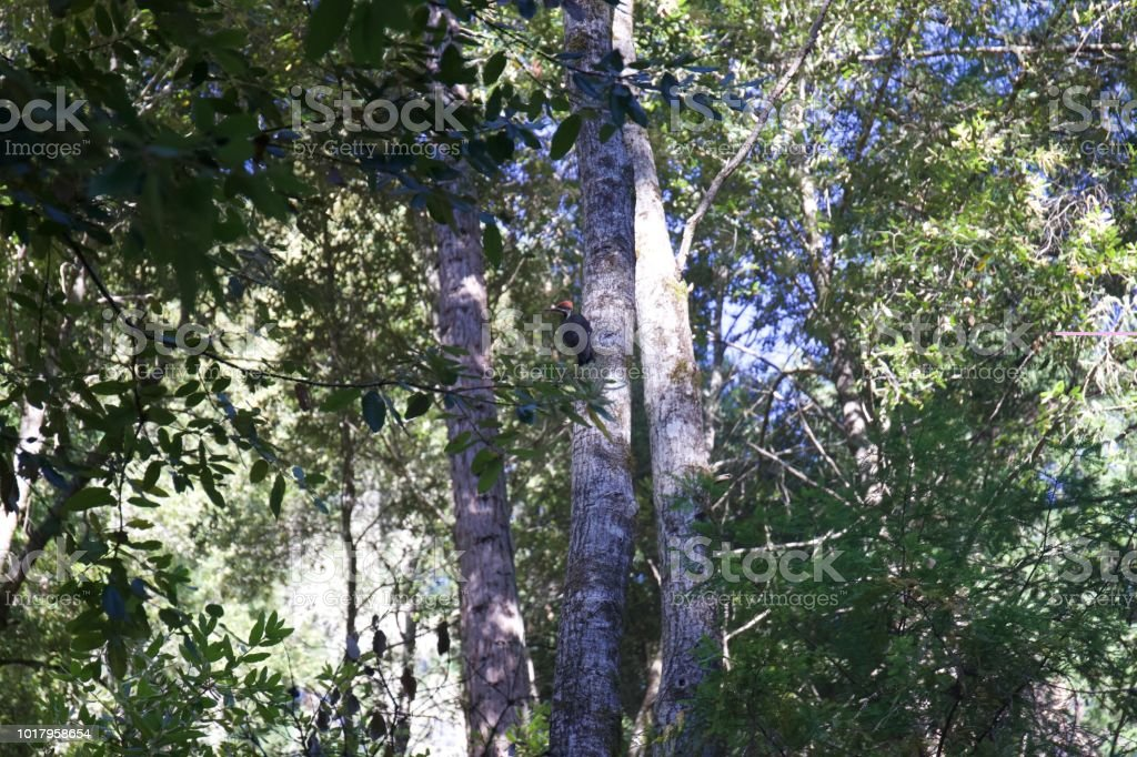 Armstrong Redwoods State Natural Reserve, California,  United States - woodpecker. stock photo