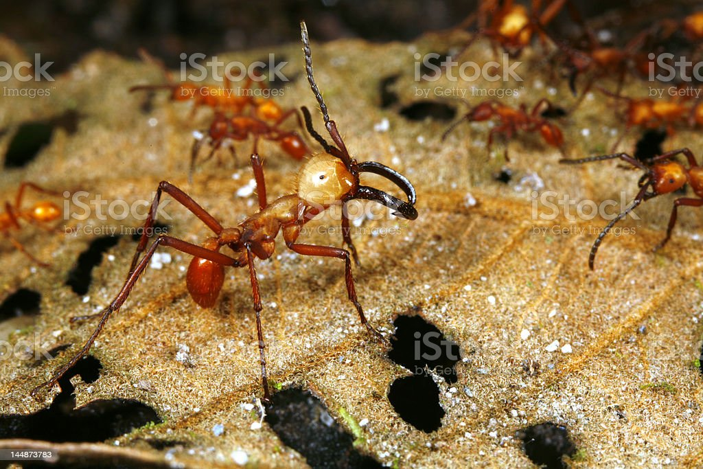 Army ant soldier beside a trail of workers stock photo