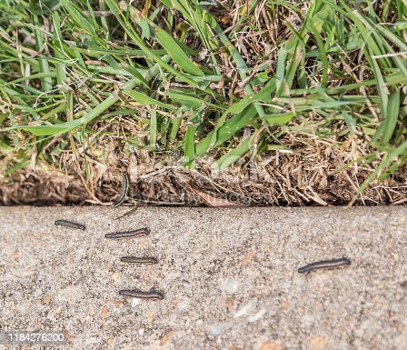 Army worms on a military base escape to the sidewalk after lawn is treated with insecticides.