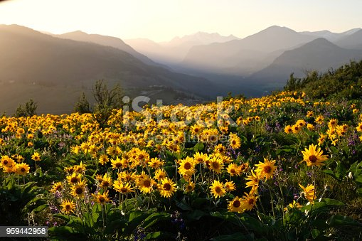 Beautiful landscape with sunflowers in Cascade Mountains. Winthrop. Washington State. United States of America.