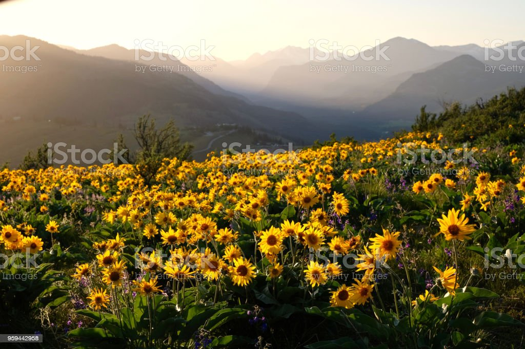 Arnica and Lupine wildflowers in meadows at sunrise. stock photo
