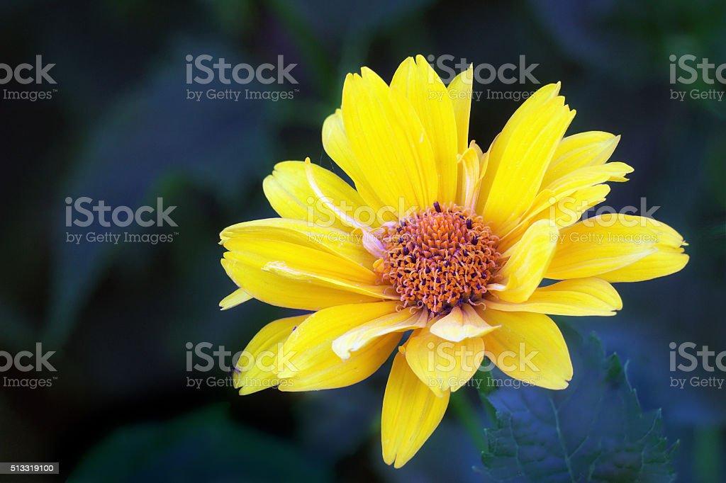 Arnica blossom stock photo