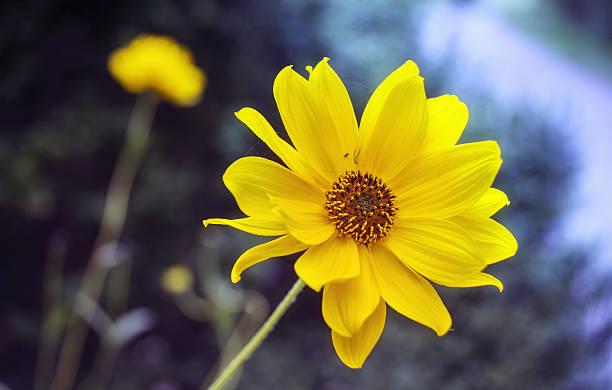 Arnika Blumen blühen – Foto