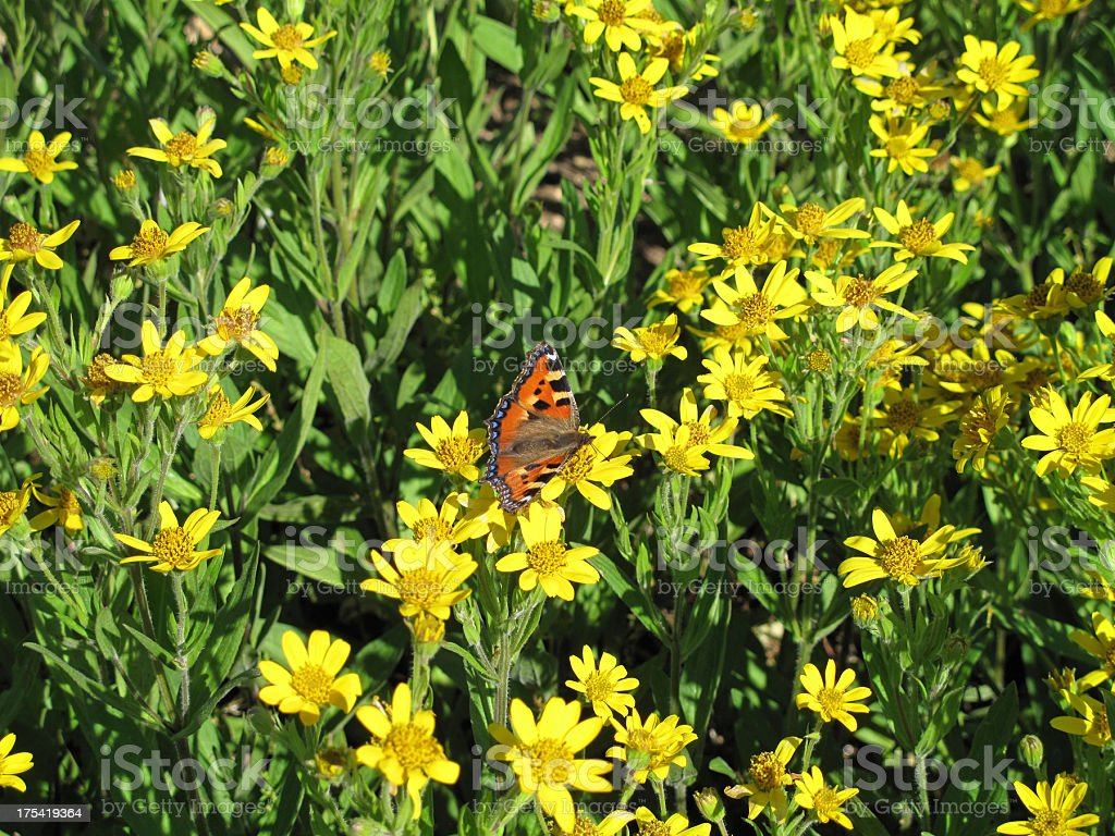 Arnica chamissonis menos de flores - foto de acervo