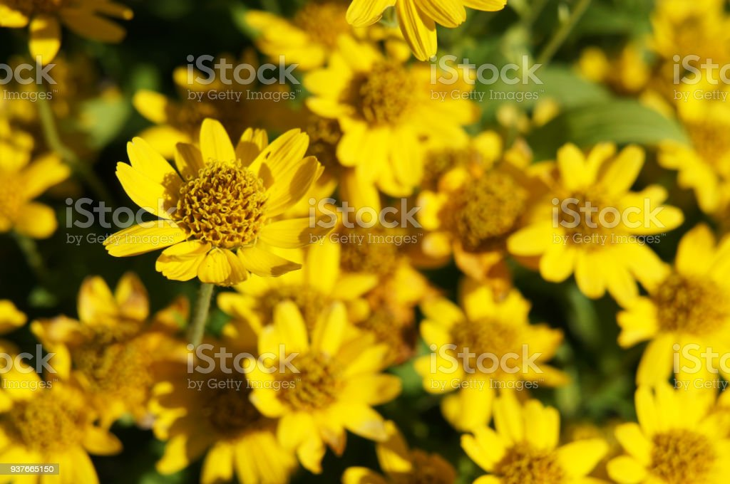 Flores de arnica chamissonis amarelo - foto de acervo