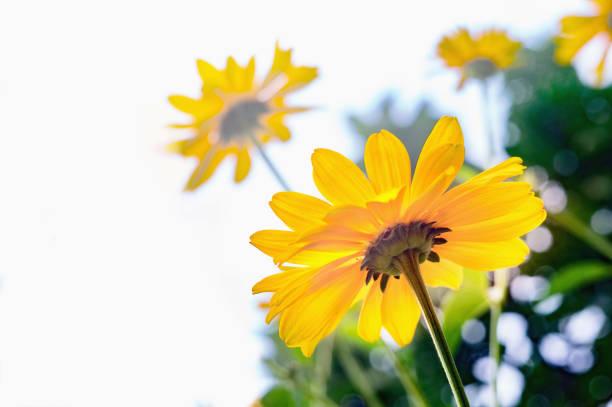 Arnika-Blüten – Foto