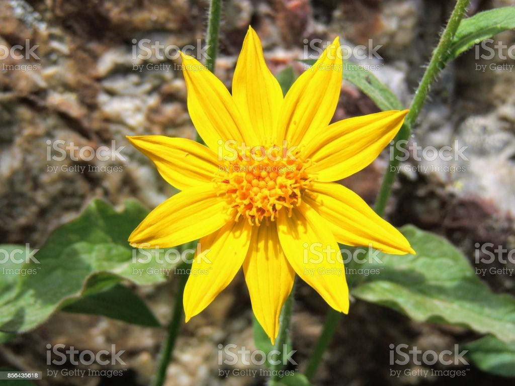 Arnica Flower, Heartleaf, close up macro in Banff National Park, Canada stock photo