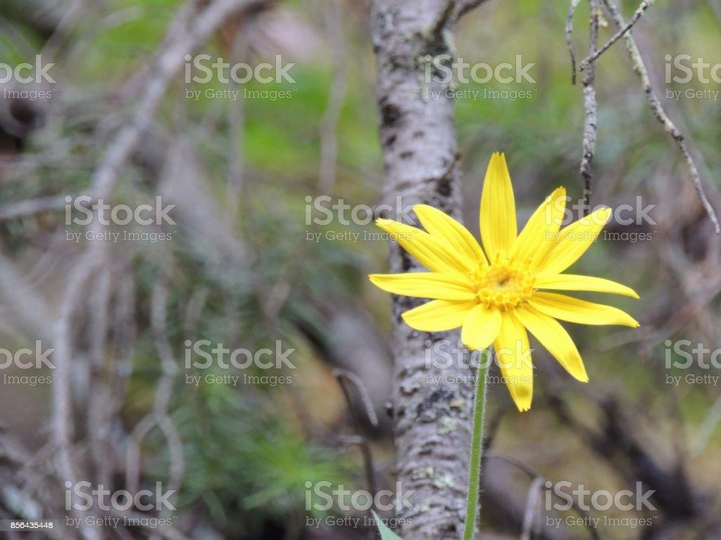 Arnica flor, Heartleaf, close-up macro no Parque Nacional de Banff, montanhas rochosas canadenses, Canadá - foto de acervo