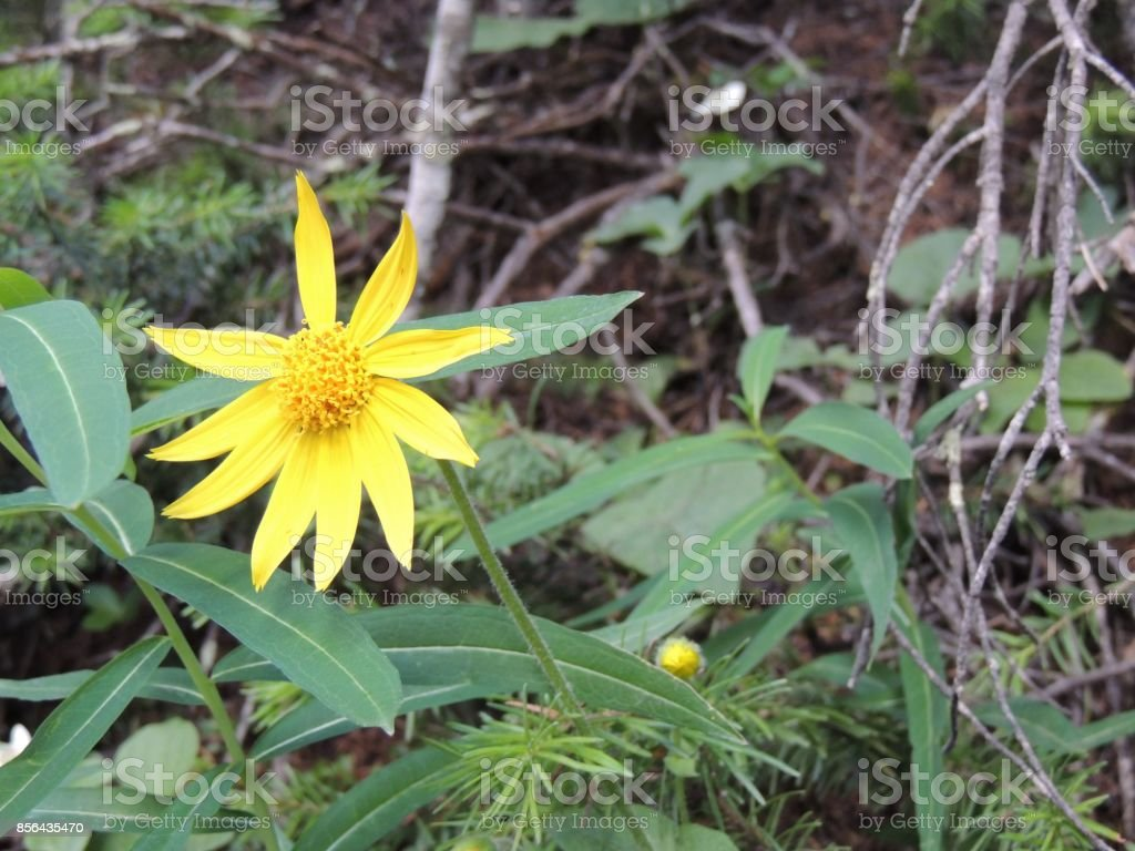 Arnica Flower, Heartleaf, close up macro in Banff National Park, Canadian Rockies, Canada stock photo