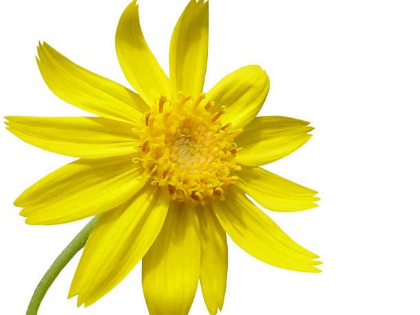 Arnika Blume, isoliert auf weiss – Foto
