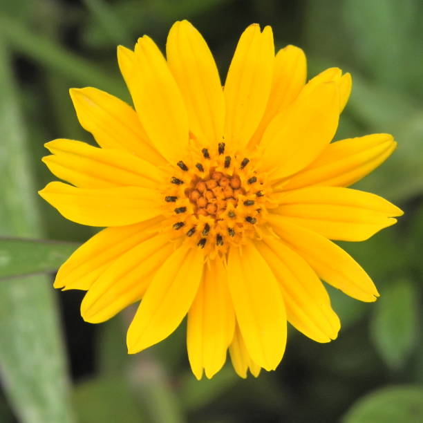 Arnika Blume – Foto