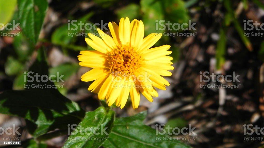 arnica flower stock photo
