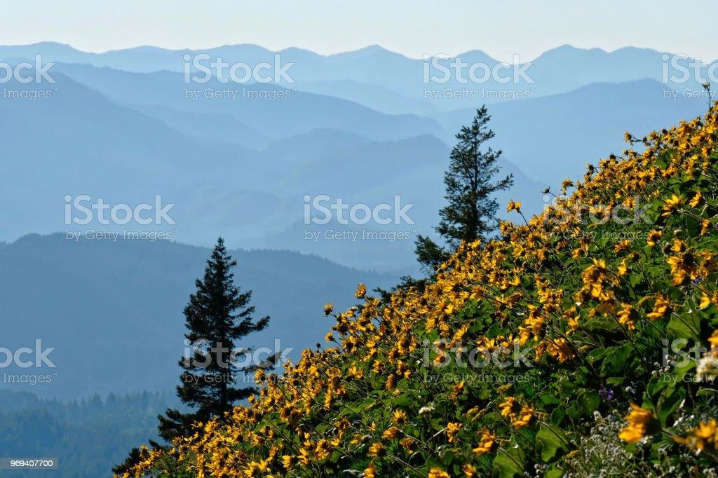 Arnika-Blüten in Wiesen in Oregon. – Foto