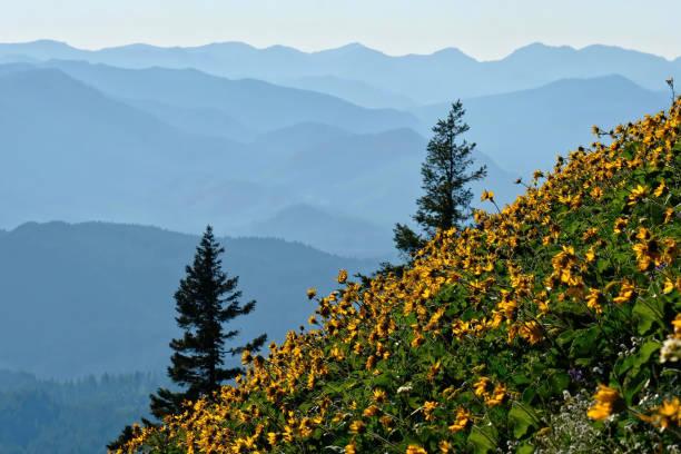 Arnica flowers in meadows in Oregon. stock photo