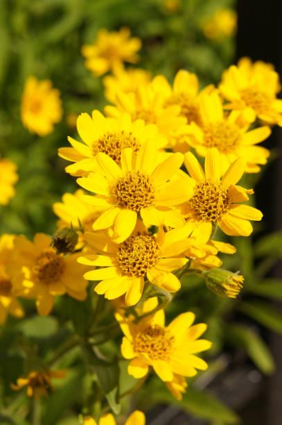 Arnika Foliosa gelbe Blumen vertikale – Foto