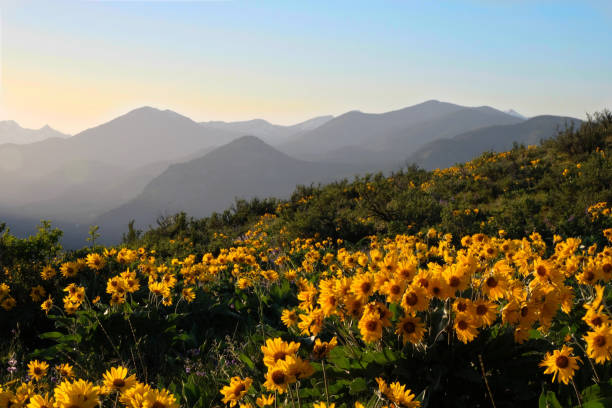 Arnica Heartleaf or Balsamroot Arrowleaf blossoming on meadows in North Cascades Mountains. stock photo