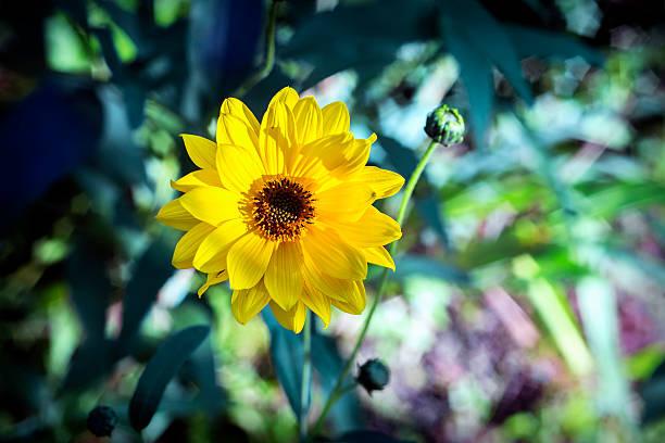 Arnica herb  blossom – Foto