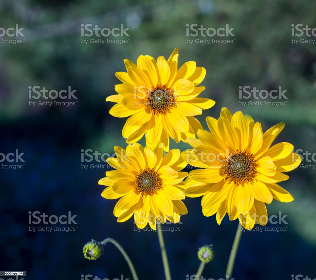 Arnica herb  blossoms stock photo