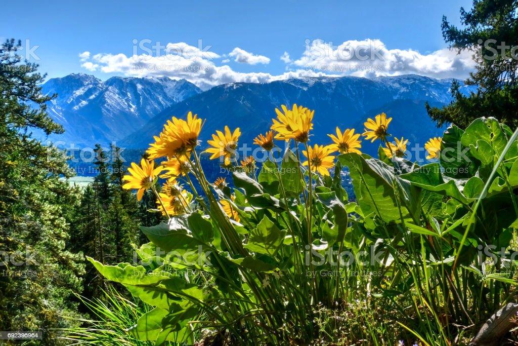 Arnica in alpine meadows. stock photo