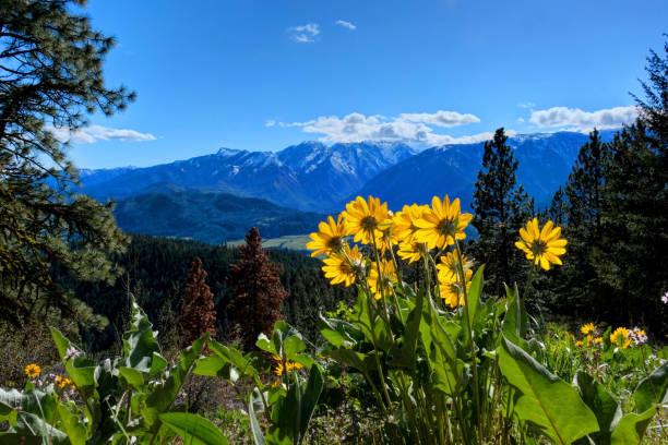 Arnica in alpine meadows. Yellow sunflowers. stock photo