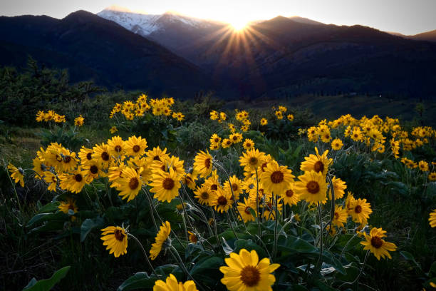 Arnica meadows at sunrise. stock photo